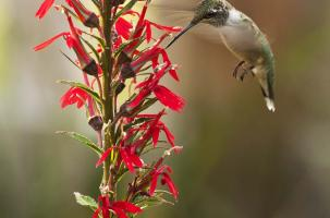 Hummingbird gathering nectar from a red lobelia plant
